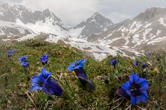 Enziane (Bernd Thaller) Tags: mountain mountains flower macro grass fog landscape austria österreich outdoor depthoffield alpine lech enzian gentiana vorarlberg focusstacking at flexenpass focusrange