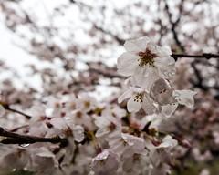 Cherry Blossom X (Douguerreotype) Tags: city pink flowers tree water rain japan garden cherry tokyo blossom cherryblossom sakura