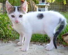 Gato Tequila (4) (adopcionesfelinasvalencia) Tags: tequila gato
