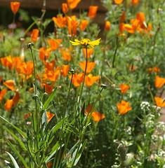 Coreopsis & Poppies (Kazooze) Tags: flowers outdoor garden backyard poppies californiapoppies coreopsis orange yellow green foliage bokeh nature sigma105mmmacrolens plant alyssum wildflowers
