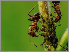 Bladluizen melken (Ants) (Erik v Hassel) Tags: mieren ants nature macro green haps erikhaps nikon d5100 nederland holland dutch beautiful fraai excellent flickr view splendid beauty best wonderful fantastic awesome stunning incredible magic nice perfect photo image shot foto lovely