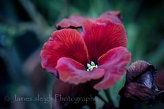 Nikon d5300 (Jasrmcf) Tags: flowers red blur flower detail contrast petals nikon dof bokeh smooth petal colourful 40mm nikkor macromacro nikonmacro bokehlicious d5300