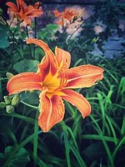Flower (cyberain89) Tags: flowers summer flower courtyard samara