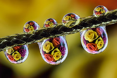 roses in drops (ASPphotographic) Tags: roses reflection water rose droplets drops refraction waterdrops refractions dropsphotography