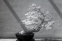 DSC_3822s (An Xiao) Tags: arboretum bonsai penjing