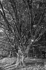 Buche am Fischteich - 2016 - 0011_Web (berni.radke) Tags: tree giant baum beech buche colossus riese fischteich dlmen hausdlmen
