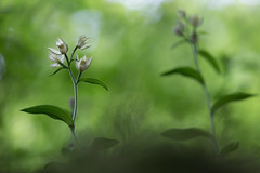 Cephalanthera damasonium (Fernando.P.Photo) Tags: bokeh fleur nature orchidée flickrunitedaward