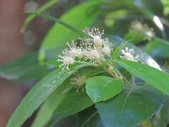 Dissiliaria surculosa 4 (barryaceae) Tags: new plants gardens wales botanical coast rainforest harbour south north australian australia species regional coffs the australianrainforestplants ausrfps