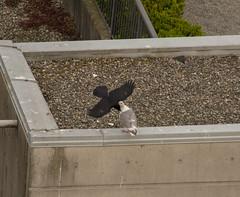 Glaucous-winged Gull (Larus glaucescens) & Northwestern Crow (Corvus caurinus) (ekroc101) Tags: birds vancouver bc coalharbour glaucouswingedgull larusglaucescens northwesterncrow corvuscaurinus