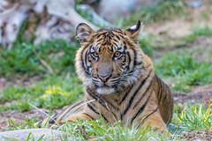 Suka (ToddLahman) Tags: baby canon tiger tigers sumatrantiger suka safaripark escondido canon100400 tigercub babytiger tigertrail sandiegozoosafaripark babysumatrantiger canon7dmkii babysuka