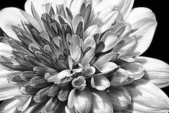 Purple Osteospermum in black and white Topaz (Jackie Matthews Photography) Tags: summer blackandwhite flower macro closeup purple gardening osteospermum canonllens topazsoftware