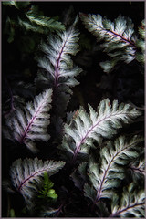 Japanese Painted Fern detail (ronnymariano) Tags: light plants flower fern detail macro nature leaves closeup garden dark leaf moody foliage 2016 japanesepaintedfern