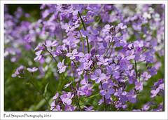Purple summer flowers (Paul Simpson Photography) Tags: pink flowers flower nature beauty petals purple naturalworld naturephotography naturephotos photosof imageof flowerphotography photoof imagesof sonya77 paulsimpsonphotography june2016 beautifulflowerphotography