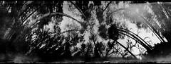 Flexible Trees (batuda) Tags: pinhole obscura stenope analogue can coffeecan cylindrical nescafe paper kodak polymax 6x24 360 360degree anamorphic anamorph distortion bw blackandwhite mediumformat forest wood trees tree sky grass pine pinussylvestris wide wideangle lowangle contrast jonava dumsiai lithuania nature landscape