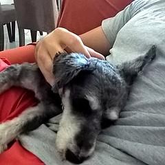 muito dengo para uma manh de domingo. #pet #instapet #dog #instadog #dengo #domingo (NelsonBritoJr) Tags: ifttt instagram nelson brito jr   fotografia pet cachorro co srd companheiro