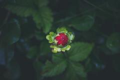 Ruby Ruby Ruby Ruby (ResiSambesi) Tags: ruby strawberry alpinum botanischergartenmainz mainz johannesgutenberguniversittmainz canoneos650d niftyfifty 50mmf18stm rot grn red green punkt erdbeere beere reddot bltter frucht berry contrast complementary komplementrkontrast colors
