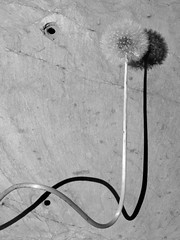 DSC_0764 (tintyper) Tags: shadow bw flower day blow dandelion wish fathersday fathers dand awish
