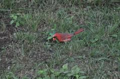 DSC_0050 (Gary Storts) Tags: cardinal gynandromorph gynadromorph orninthology birdwatching birds cardinalis northerncardinal cardinaliscardinalis