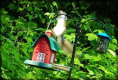 DSCN9614 (DianeBerky19) Tags: summer backyard nikon squirrels birdfeeder peanuts greysquirrels hangontight coolpixp900