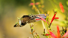 Dolce Vita (vgphotoz) Tags: vgphotoz hummingbird nikkor nikon bif colors nature wings bird ngc arizona phoenix usa flowers bokeh ladolcevita eyes closeup inflight sweetlife green red