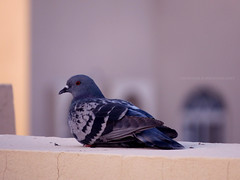 Idle. (MaryPoppins__) Tags: portrait bird nature birds canon desert pigeon muslim teens concept conceptual creep niqabi myphotography conceptualportrait teensonflickr