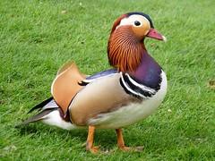 Mandarin Duck (Aix galericulata) (Grumman G1159) Tags: duck mandarin mandarinduck aixgalericulata