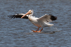 IMG_5254.jpg American White Pelican, Harkins Slough (ldjaffe) Tags: harkinsslough americanwhitepelican