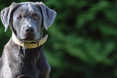 Carl (donlunzo16) Tags: 2 dog color colour film lens grey eyes nikon df labrador raw nef bokeh gray x pack filter carl saturation nd nikkor vignette afs 70200mm f128 vsco d