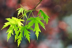 Summer, leaves and bokeh (Mario Ottaviani Photography) Tags: summer tree verde texture nature leaves closeup foglie estate bokeh background softness natura growth acer simplicity delicate tamron albero ramo rosso acero sfondo fragility sonyalpha a7rii a7rmkii a7r2