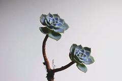 s u c u l e n t a  f l o r (nayaracristna) Tags: plant suculent suculenta naturelovers
