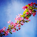 A Blossom Branch