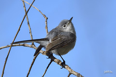 Blue-gray Gnatcatcher (jt893x) Tags: bird nikon sigma d500 songbird gnatcatcher bluegraygnatcatcher polioptilacaerulea mageemarsh nikond500 150600mm sigma150600mmf563dgoshsms jt893x