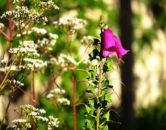 Foxglove (Gert Vanhaecht) Tags: light italy white flower color colour green nature composition canon purple bokeh availablelight canonpowershotsx700hs gertvanhaecht