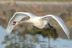 Cygnus olor (Tuomo Nyknen) Tags: swan birdsinflight bif muteswan joutsen d610 kyhmyjoutsen finnishbirds suomenlinnut 300f4edpfvr