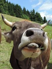 Allguer Braunvieh (ukiessling) Tags: kuh landwirtschaft natur nase tier zunge allgu ukiessling