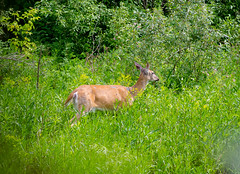 Whitemud Deer (Kurayba) Tags: park canada macro creek fur missing edmonton pentax action 100mm deer alberta ravine 100 creature smc patches f28 dfa fa wr k5 whitemud pentaxd smcpentaxdfamacro100mmf28wr