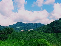 Beautiful Tea Plantation. (Daphne's Escapades) Tags: peaceful calm grateful teaplantation clearblueskies fluffyclouds onlyinmalaysia