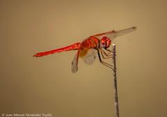 Dragonfly (juanmatruji) Tags: espaa macro nature closeup andaluca bokeh almeria albox canon55250is canoneos1200d