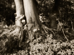 I hope this tree will not fall over at the next storm. The forest workers have done everything, so that it can keep its balance. (detlefgabriel17) Tags: wood blackandwhite tree forest edited schwarzweiss wald baum sonyhx400v