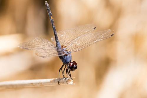 indigo dropwing dragonfly