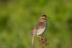 Savannah Sparrow, Gander (frank.king2014) Tags: ca canada gander savannahsparrow newfoundlandandlabrador