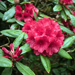 Day 6 12 Logan Botanic Garden red flowers (bob watt) Tags: uk plants flower june canon scotland 7d 2016 18135mm loganbotanicgarden canoneos7d kirkcudbrightholidayjune2016