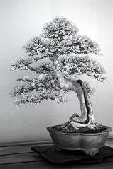 DSC_3804s (An Xiao) Tags: arboretum bonsai penjing