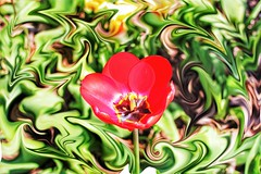 Toronto Ontario ~ Canada ~ Edwards Botanical Gardens ~  Rose Tulip with Swirls (Onasill ~ Bill Badzo) Tags: pink red orange plant toronto ontario canada black flower macro bus field yellow gardens creek canon butterfly bug river garden circle insect walking botanical eos rebel see photo petals flickr branch escape tulips bright metro blossom outdoor background cluster border surreal sigma e stamen round tulip backdrop don sunburst serene swirls wildflowers d100 must edwards gta tours mills depth rupert ~ attraction sl1 on 18250mm wilket bokehs onasill