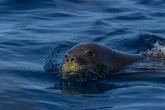 monkseal10Jun22-16 (divindk) Tags: hawaii hawaiianislands kauai lehuacrater neomonachusschauinslandi niihau blueocean cute diverdoug endangeredspecies hawaiianmonkseal lazy marine marinemammal monkseal ocean sea seal whiskers