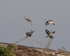 Common Sandpipers coming in to land (John (Gio) * OVER 100,000 VIEWS *) Tags: reflection bird nature water kent wildlife olympus reservoir gio landing sandpiper causeway birdwatcher wader commonsandpiper fourthirds nbw bwg boughbeech kentwildlifetrust birdwatchinggroup zuikodigitaled50200mmf2835swd