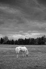 April (DWO630) Tags: bw horse white black clouds farm sigma riding lesson grazing merrill dp2m printedatcvs