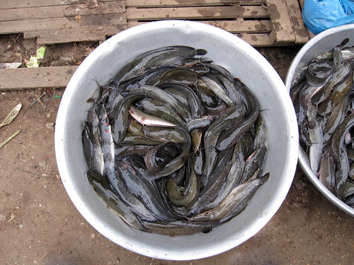Catfish (Clarias sp) for sale in Cambodia. Photo by Jharendu Pant, 2009.