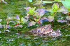 Toads (WabbyTwaxx) Tags: two toads mating