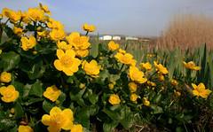 Gold y gors (Caltha palustris) (Rhisiart Hincks) Tags: populagedesmarais calthapalustris marshmarigold goldygors ynyslas yborth ceredigion blodau bleujyow bleunioù flowers dìthean dìtheanan flùraichean loreak fleurs bláthanna yellow buidhe melyn melen hori jaune amarillo buí riascbhláthórga bearnanbealtine soursidour afonleri ue eu ewrop europe eòrpa europa aneoraip a'chuimrigh kembra wales cymru kembre gales galles anbhreatainbheag 威爾斯 威尔士 antearrach nevezamzer gwanwyn udaberri spring